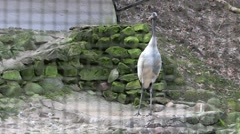 Red crowned crane in zoo Stock Footage