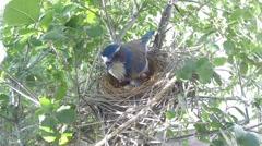 Scrub Jay documentary bird shading 2 eggs in nest GoPro Hero3+ Black V17029 Stock Footage