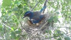 Scrub Jay Nest documentary bird shading 2 eggs GoPro Hero3+ Black V17001 Stock Footage