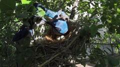 Scrub Jay Documentary male feeds female adjusts eggs dappled light  V17070 Stock Footage