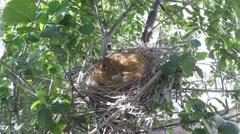 Scrub Jay documentary bird returns to nest with 2 eggs GoPro Hero3+ V17006 Stock Footage
