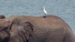 African Elephant and Bird Friend Stock Footage