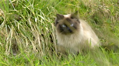 Colorpointed cat in grass focused on something 4K Stock Footage