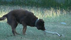 Dog Bit Snake Stock Footage