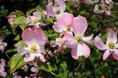 Flowering Dogwood - Cornus Florida Rubra Pink flowers - stock photo
