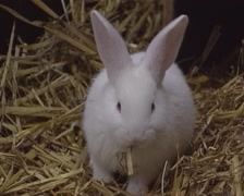 White rabbit eating straw in hutch - on camera Stock Footage