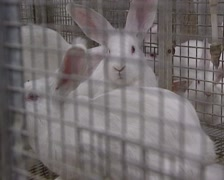 New Zealand white rabbits fattening in a wire cage Stock Footage