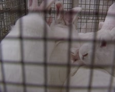 White rabbits fattening in a wire cage (closely) - stock footage