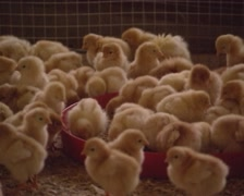 Day old chicks in poultry barn Stock Footage