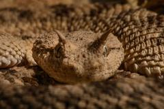 horned viper cerastes cerastes macro looking at camera ready to strike - stock photo
