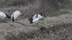 African sacred ibis, Threskiornis aethiopicus, bird,  rice field Stock Footage