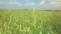 Green wheat grains waving in wind Stock Footage