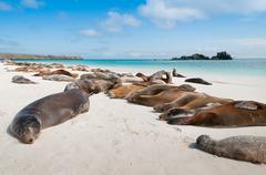 Sleeping sea lions Galapagos - stock photo