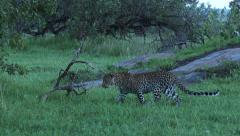 Leopard stalking Stock Footage