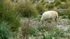 Grazing wild sheep in Majorca Mallorca Stock Footage