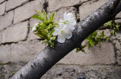 Stock Photo of The first leaves and flowers on a cherry tree