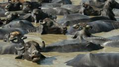 Herd of buffaloes take a bath on a warm day, rural India Stock Footage