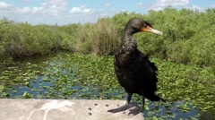 USA Florida Everglades National Park 014 close up of an Anhinga bird - stock footage