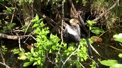 USA Florida Everglades National Park 013 beautiful Anhinga bird on a branch - stock footage