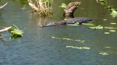 USA Florida Everglades National Park 018 medium shot of swimming alligator Stock Footage