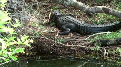 Stock Video Footage of USA Florida Everglades National Park 019 alligator and its mirror image on water