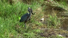 USA Florida Everglades National Park 023 grey heron with living fish in its beak Stock Footage