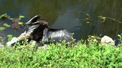 USA Florida Everglades National Park 025 beautiful Anhinga bird cleans plumage - stock footage