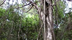 USA Florida Everglades National Park 034 trunk of exotic tree and creepers Stock Footage