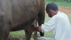 Milking a buffalo at a farm in India Stock Footage