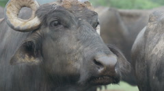 Herd of buffaloes at a farm in India Stock Footage