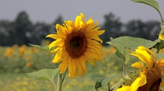 Close-up of sunflower in field - stock footage