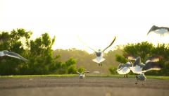 Super Slow Motion Seagulls Birds Taking flight with golden light background - stock footage