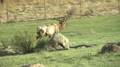 North American Elk in Rocky Mountain National Park, Colorado - stock footage