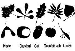 Maple chestnut oak Stock Illustration