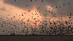 Flock of pigeons at sunrise, silhouettes, birds, beach in Chennai, India - stock footage