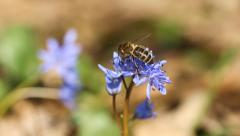 Spring flowers Scilla bifolia and bee Stock Footage