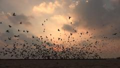 India, flock of pigeons take off at sunrise, silhouettes against the sky - stock footage