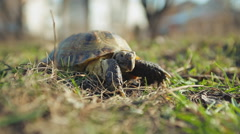 Central Asian tortoise 002 Stock Footage