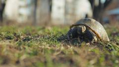 European steppe turtle Stock Footage