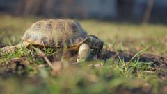 Steppe tortoise crawling on the ground Stock Footage