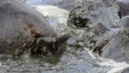Stock Video Footage of HIPPO DEFECATES ON HIPPO