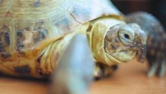 European steppe turtle 005 Stock Footage
