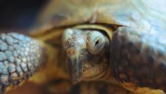 European steppe turtle 003 Stock Footage