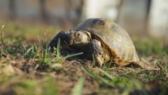 European steppe tortoise crawling 002 Stock Footage