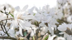 Close-up of white magnolia flowers in springtime Stock Footage