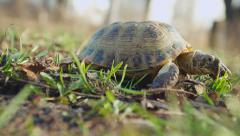 European steppe turtle 002 Stock Footage