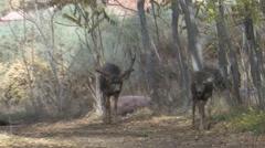 Dominant Mule Deer Buck in Rut Following a Doe Stock Footage
