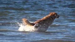 Dog on the Beach - Golden Retriever - Slow Motion - stock footage