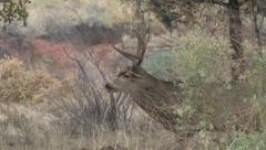 Winning Mule Deer Buck After Chasing the Loser - stock footage