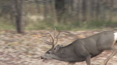 Winning Mule Deer Buck Trotting Back to Doe Stock Footage